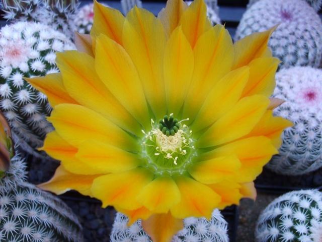 Blütenbilder 2010 - Seite 6 Sd532538