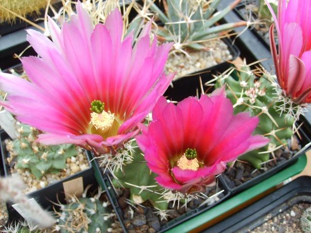 Blütenbilder 2010 - Seite 6 Sd532542