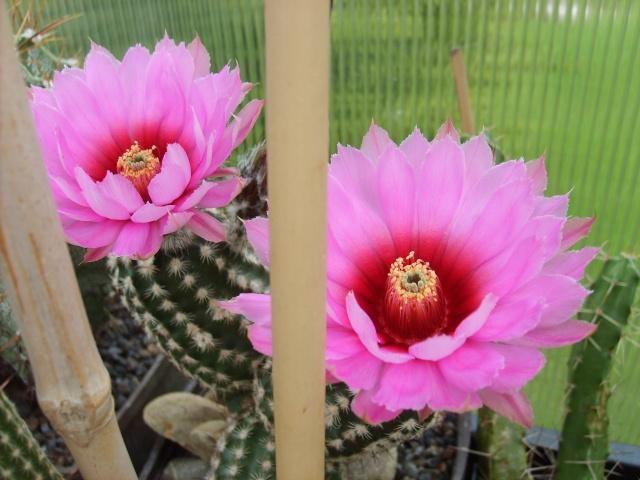 Blütenbilder 2010 - Seite 6 Sd532543