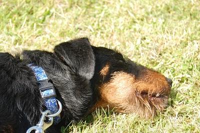 Belgique - WATSON jagd terrier  1 an, avant mercredi !!! Verviers ... adopté en Allemagne par Barbara Dsc_0426