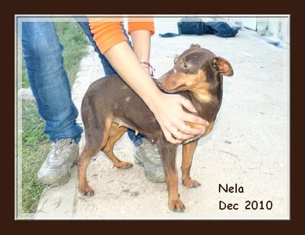 Pimpi et Nela - croisés pinschers de 2 ans - adoptable(s) Suisse, France Nela_210