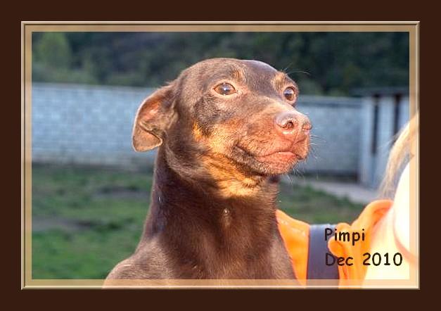 Pimpi et Nela - croisés pinschers de 2 ans - adoptable(s) Suisse, France Pimpi_10