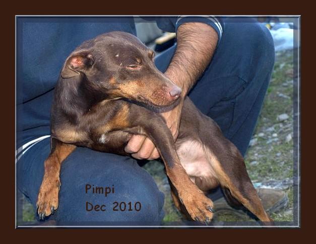 Pimpi et Nela - croisés pinschers de 2 ans - adoptable(s) Suisse, France Pimpi_11