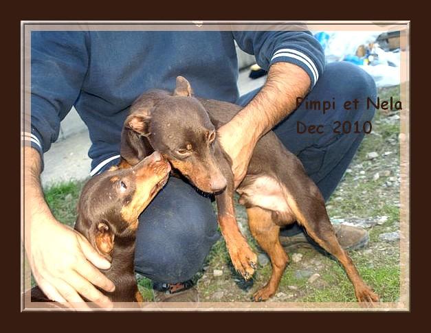 Pimpi et Nela - croisés pinschers de 2 ans - adoptable(s) Suisse, France Pimpi_12