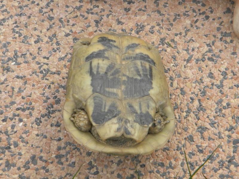 demande d identification tortues graeca svp Dscn4318