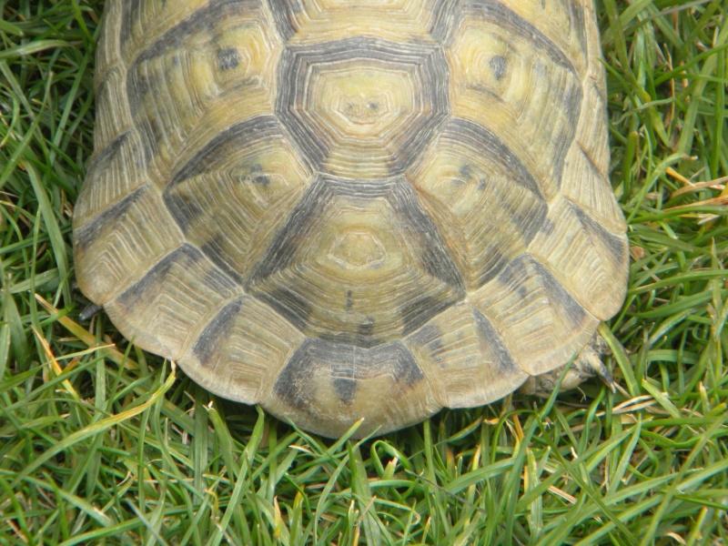 demande d identification tortues graeca svp Dscn4320