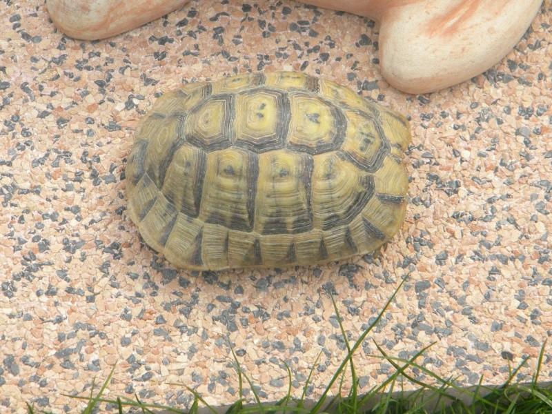 demande d identification tortues graeca svp Dscn4321