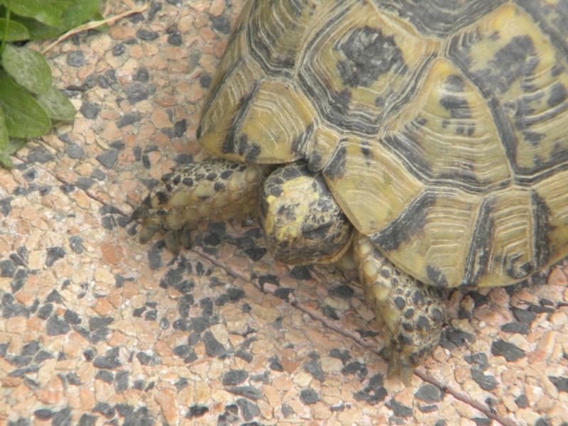 demande d identification tortues graeca svp Dscn4322