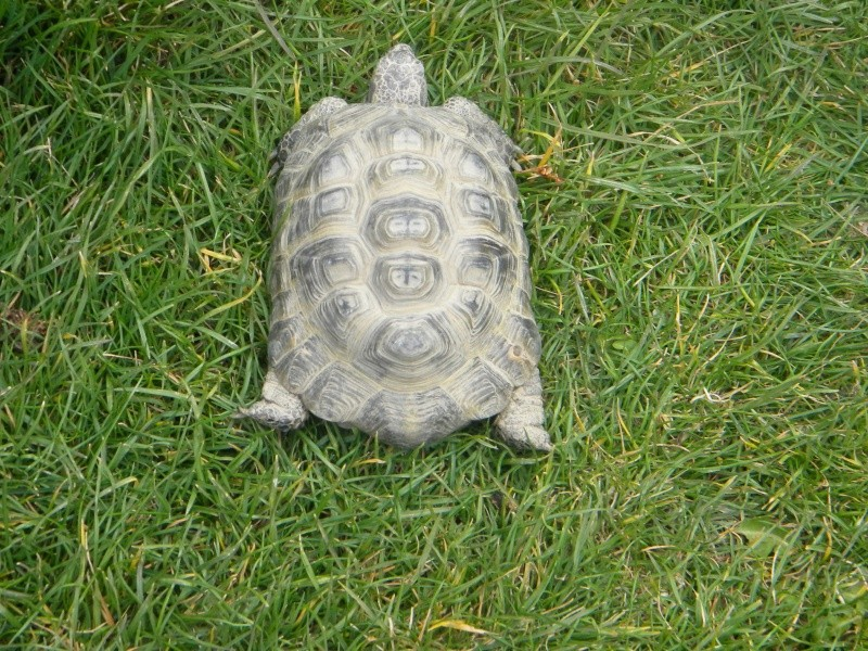 demande d identification tortues graeca svp Dscn4324