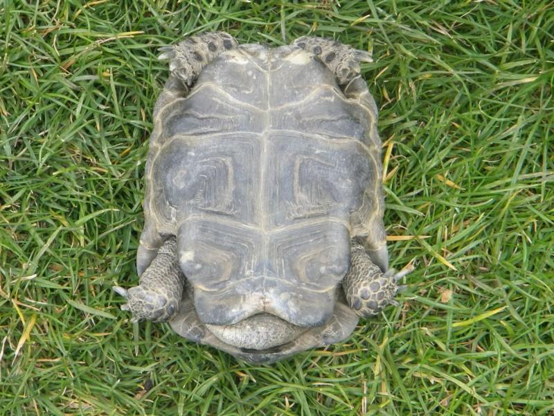 demande d identification tortues graeca svp Dscn4326