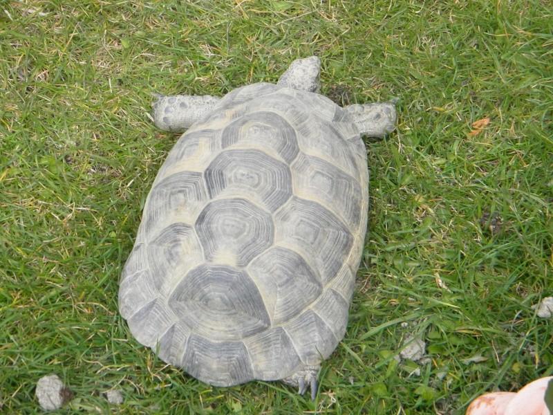 demande d identification tortues graeca svp Dscn4328