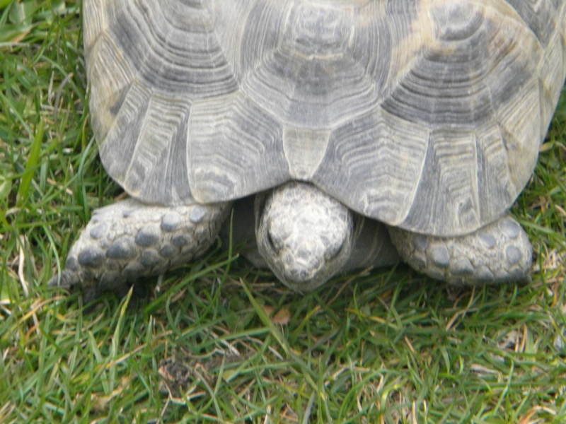 demande d identification tortues graeca svp Dscn4329