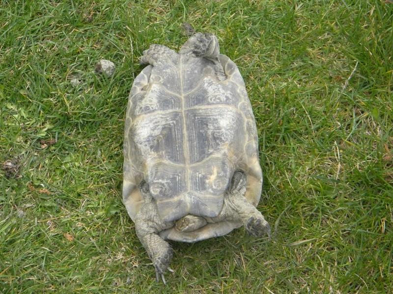 demande d identification tortues graeca svp Dscn4330