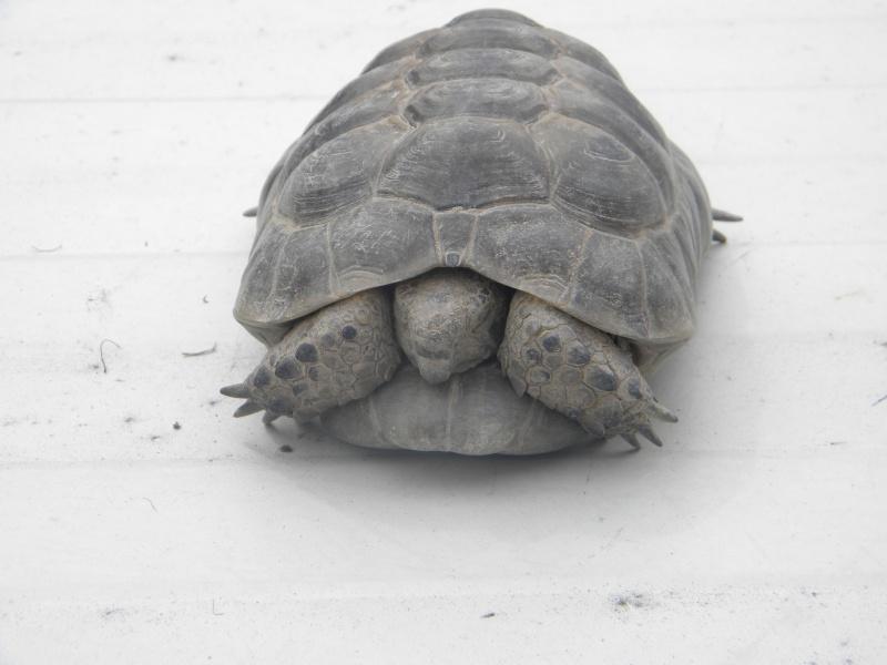 demande d identification tortues graeca svp Dscn4334