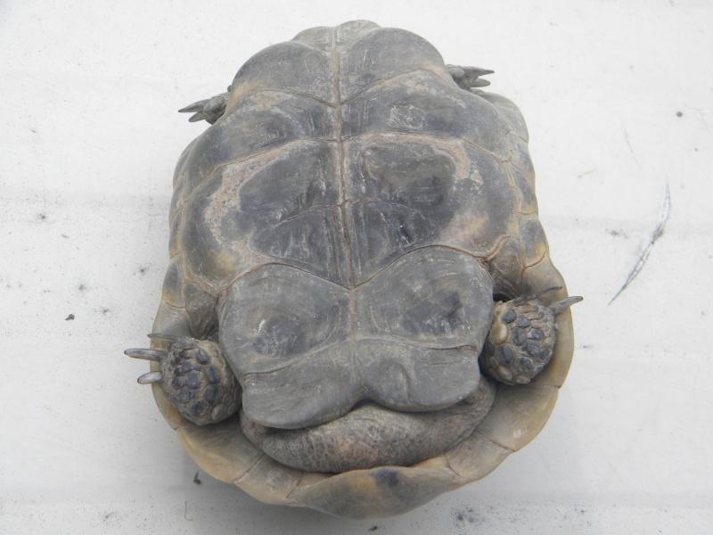 demande d identification tortues graeca svp Dscn4335