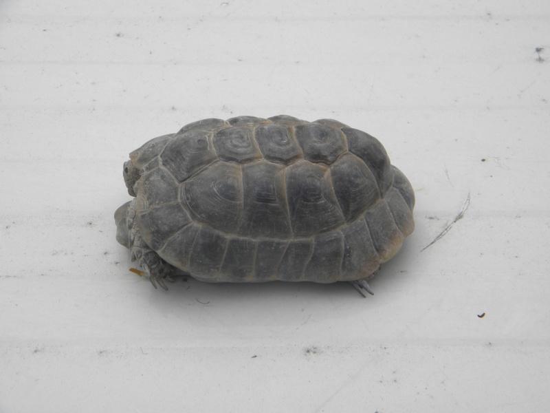 demande d identification tortues graeca svp Dscn4337