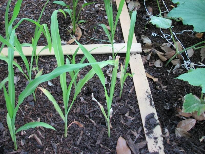 Growing corn question Garden14