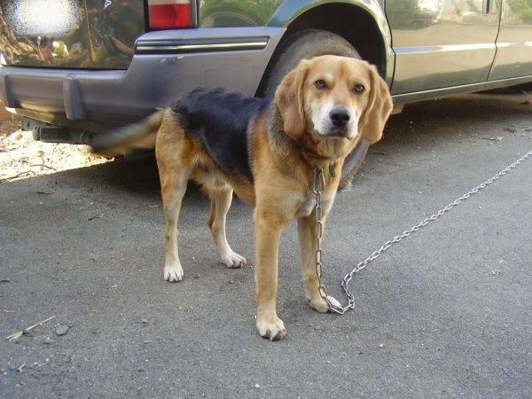 EDOUARD croisé beagle  9 mois adopté par Patrick ( 79 ) Pc010012