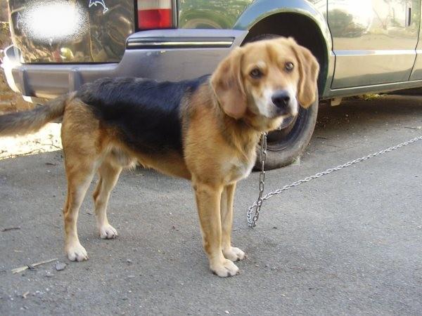 EDOUARD croisé beagle  9 mois adopté par Patrick ( 79 ) Pc010013