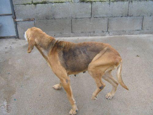 ORFEE  chienne  abandonnée en fourriere Urgent10
