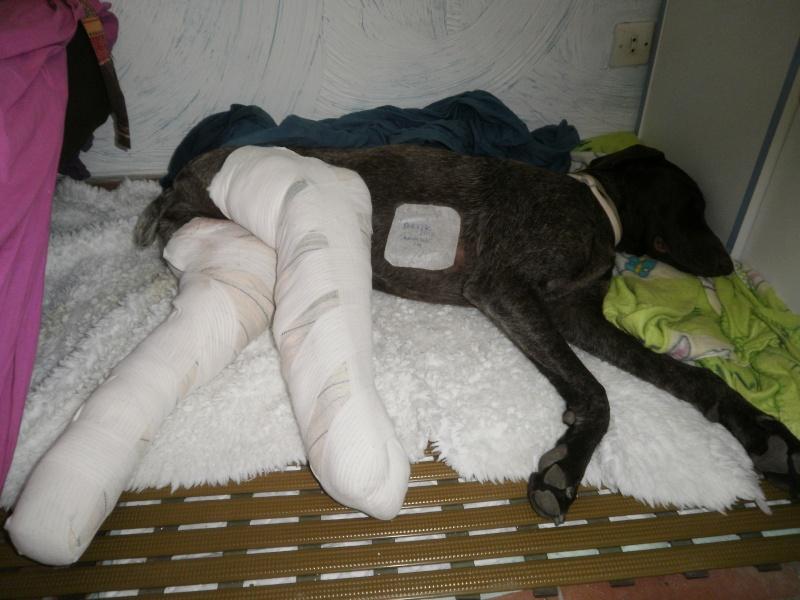 Appel aux dons pour ELYS (f) braque allemand accidentée  a besoin de nous tous pour être opérée et remarcher un jour. Elys113