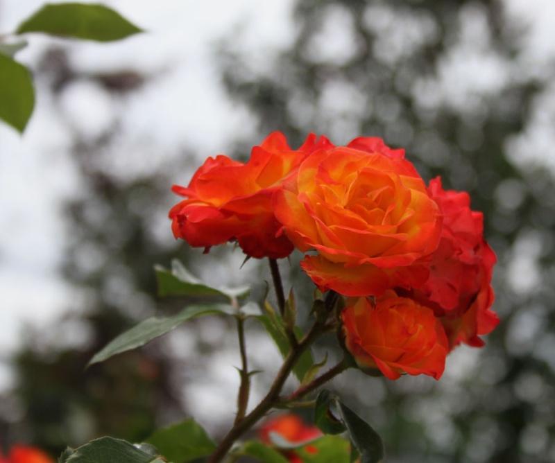 Concours du mois de juin 2010. Thème : Au nom de la rose Img_3212
