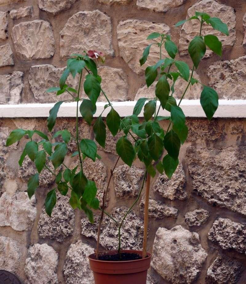 Belopérone ou plante crevette P1070311