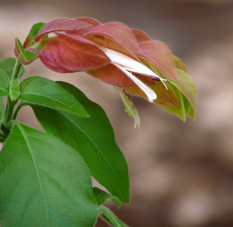 Belopérone ou plante crevette P1070312