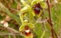 Orchidées des Cévennes Ophrys17