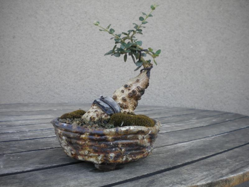 Rectifier le tronc (olivier prélevé) Dscn6911