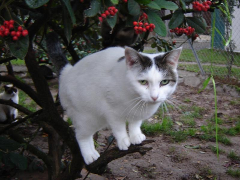 Alba, jolie chatte blanche avec des tâches tigrées (17) Alba_210