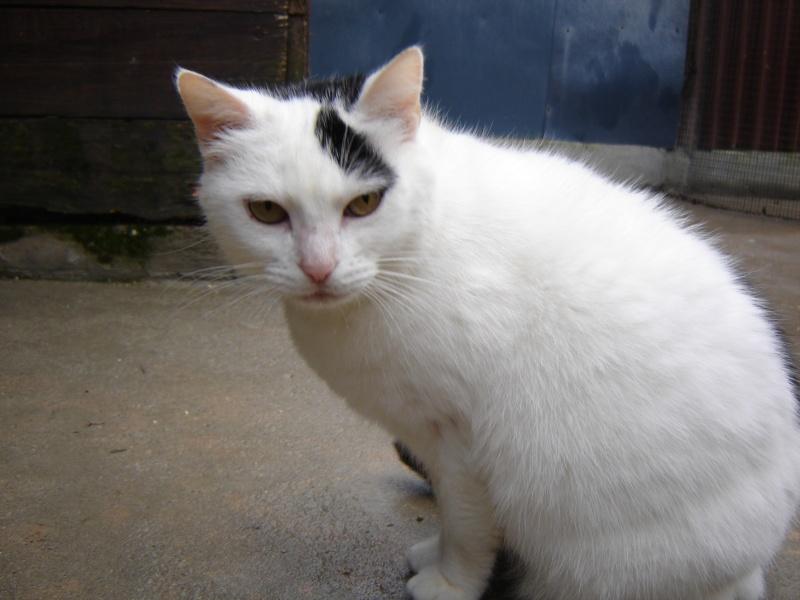 Neige, femelle blanche et noire, née en 2007, très câline (17)  Neige_10