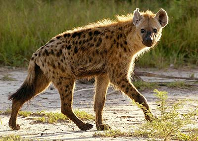 Mojo Spotted hyena... more pictures Hyaena10