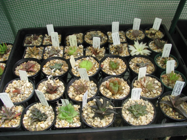 some of my succulents - Page 4 Some_t13