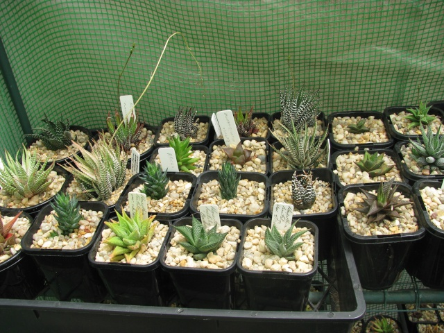 some of my succulents - Page 4 Some_t14