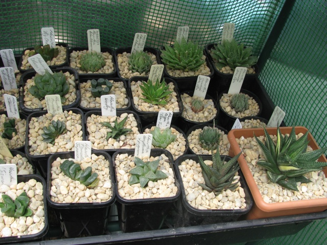 some of my succulents - Page 4 Some_t15