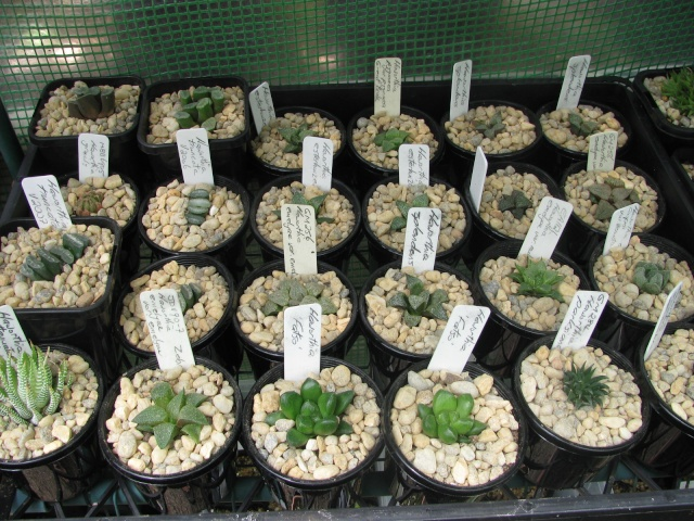 some of my succulents - Page 4 Some_t16