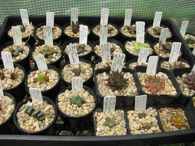 some of my succulents - Page 4 Some_t17