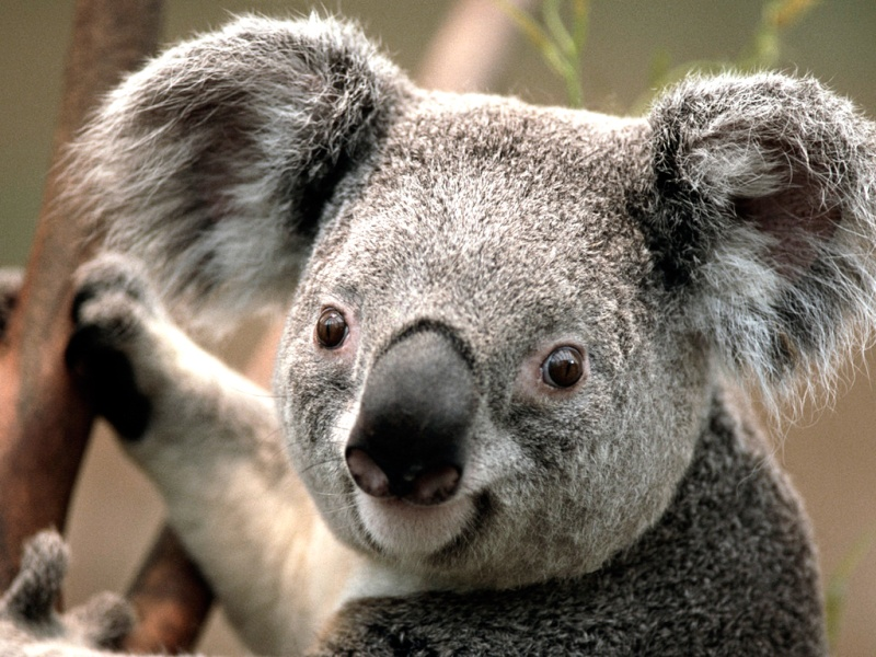 Boites de pizza volante! Koala10