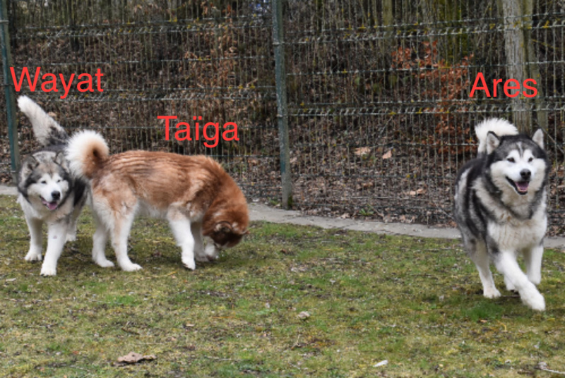 TAIGA, Huskie stérilisée née le 22.04.2006, refuge SPA Fribourg, Suisse Trio_a10
