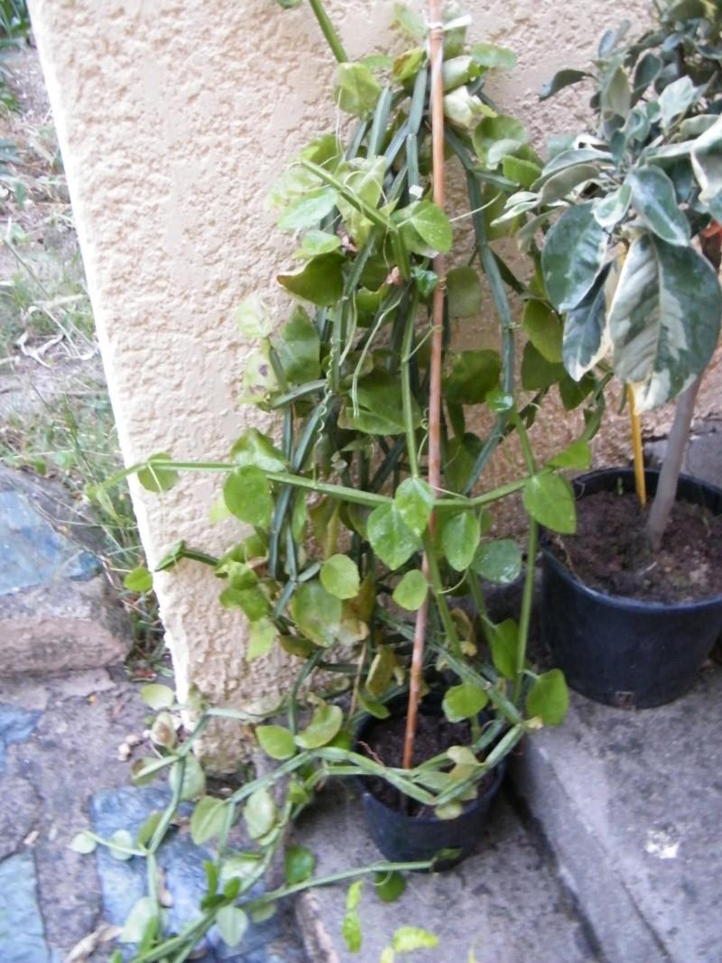 Cissus quadrangularis Sept2012
