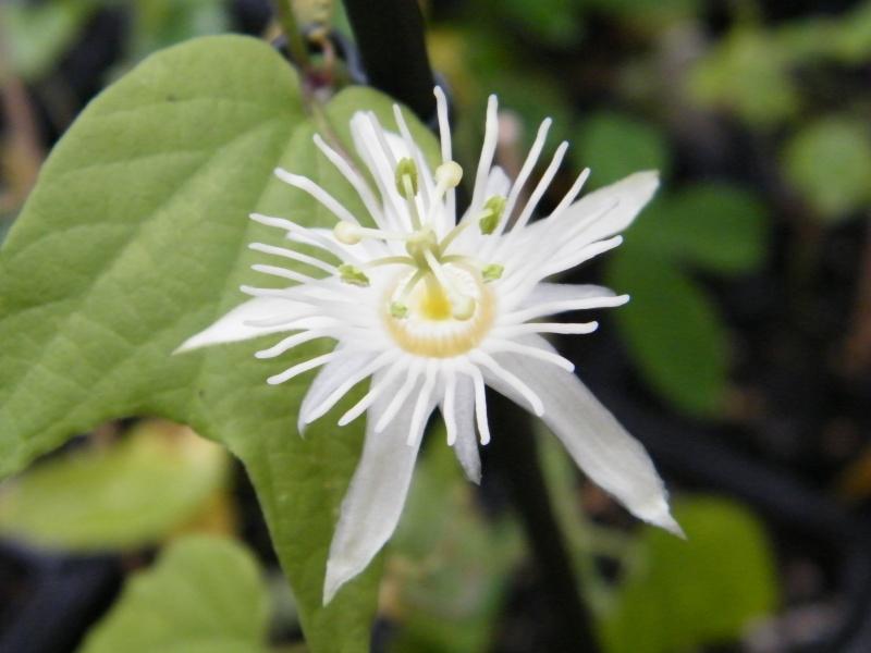 Passiflora : floraisons [verrouillé] Sept2022