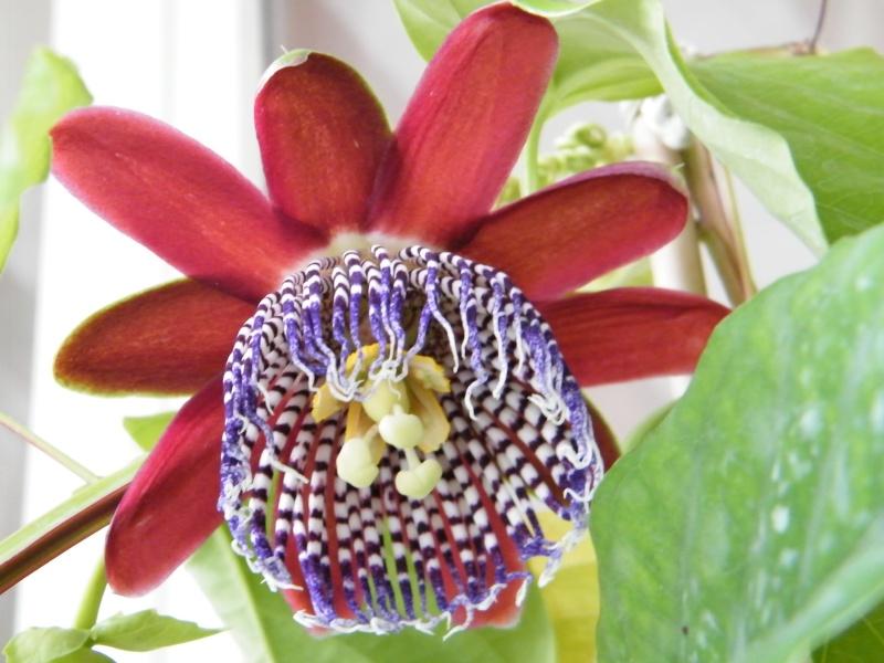 Passiflora : floraisons [verrouillé] Sept2025