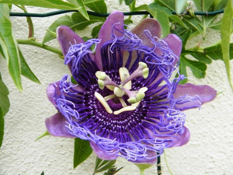 Passiflora : floraisons [verrouillé] Sept2027