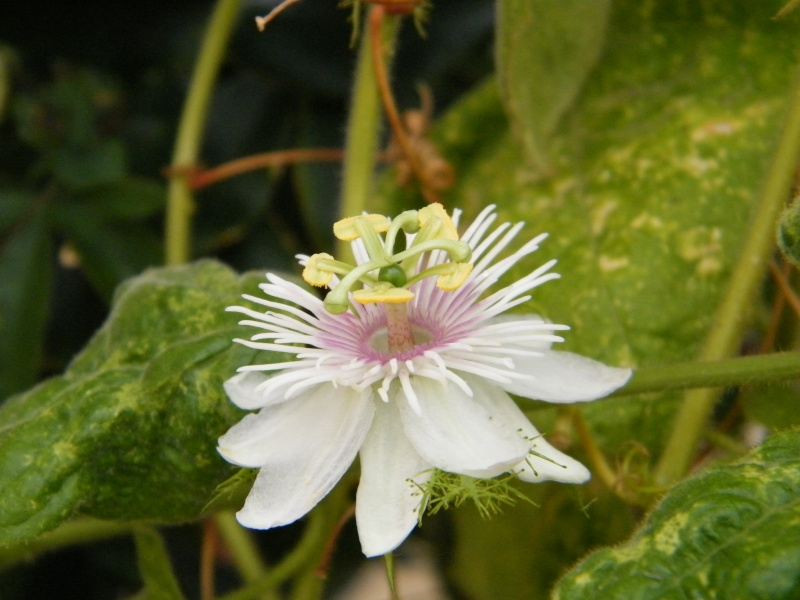 Passiflora : floraisons [verrouillé] Sept2028