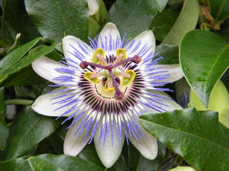 Passiflora : floraisons [verrouillé] Sept2030