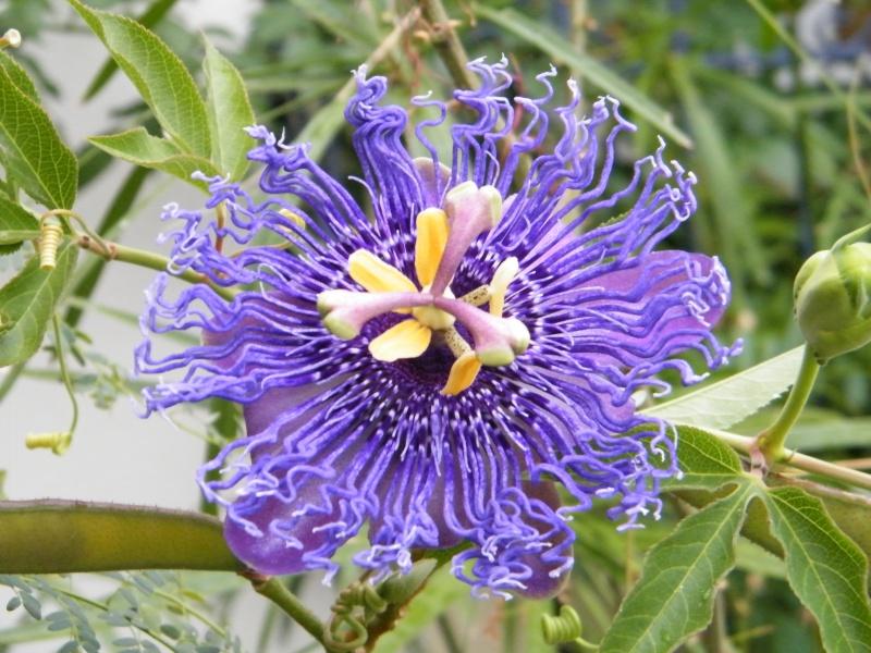 Passiflora : floraisons [verrouillé] Sept2031