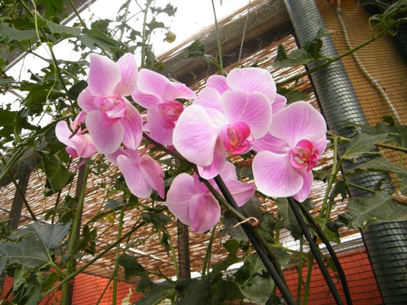 orchidées : questions, problèmes et conseils de culture Sept2041