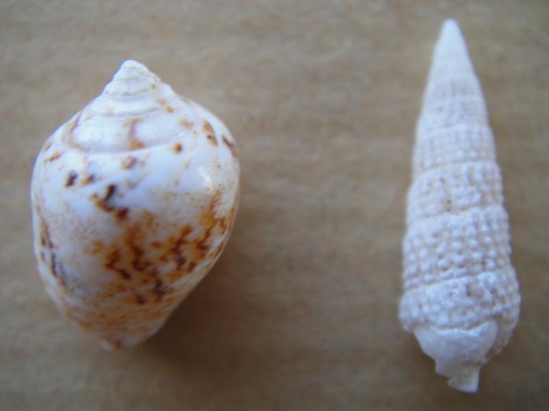 1 Euplica turturina, 2 Cerithidae sp., 3 Conus omaria f. patonganus, 4 Conus pennaceus f. rubiginosus 001_310