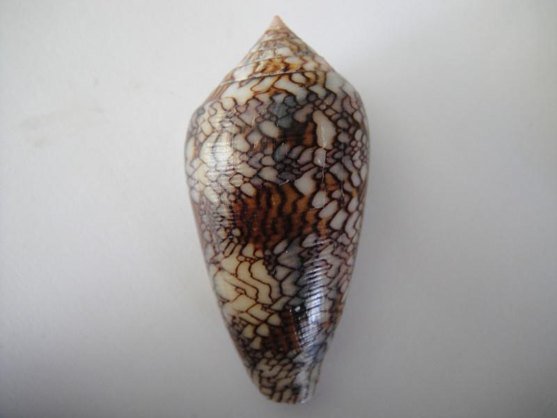 Conus (Cylinder) archiepiscopus  Hwass in Bruguière, 1792 Conus_52